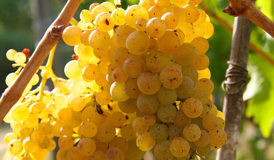 Weintrauben - exzellente Weine